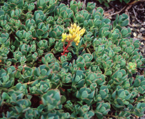Sedum oregonense (Form 2)