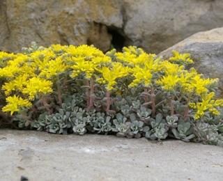 Sedum Spathulifolium Ssp Pruinosum Carnea